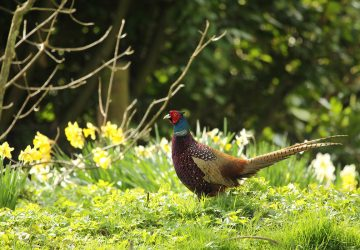 Driven Pheasant Shooting – Everything You Ever Wanted to Know