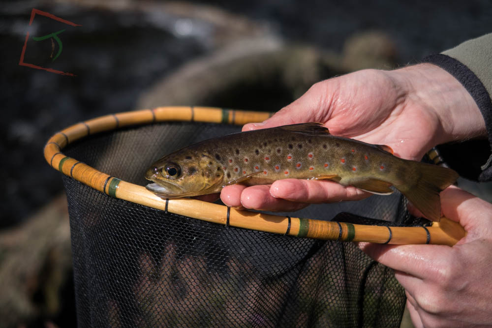 A perfect wild brown trout caught in Yorkshire using traditional Japanese fly fishing methods.
