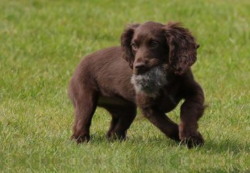 How to Pick a Gundog Puppy