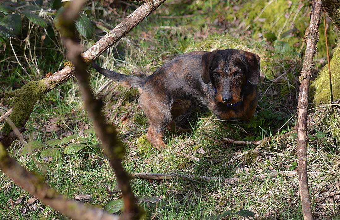 The Teckel – The Most Versatile Working Dog?